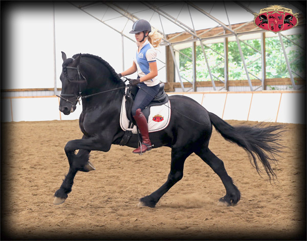 Dressage Training with Friesians